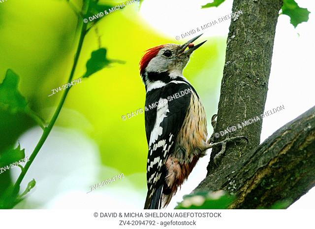Close-up of a Three-toed Woodpecker (Picoides tridactylus) hanging on a branch