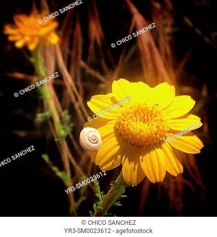 A small snail perches on a yellow daisy in Prado del Rey, Sierra de Cadiz, Andalusia, Spain