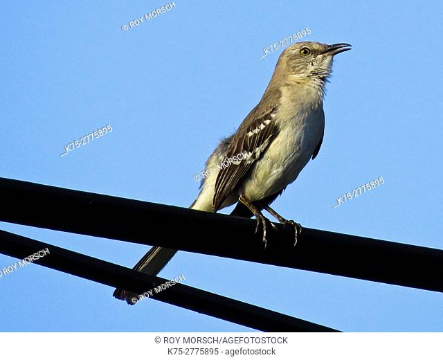 Northern mockingbird, Mimus polyglottos