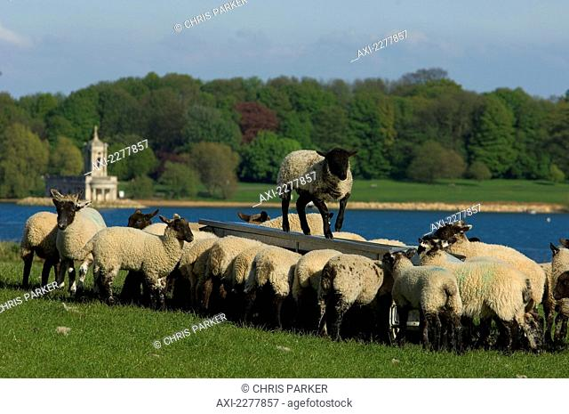 Spring lambs by Normanton Church along Rutland Water, one of the largest man-made reservoirs in Europe; Rutland, Leicestershire, England