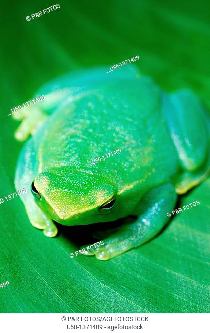 Green tree frog Hylidae, Anura, 2009