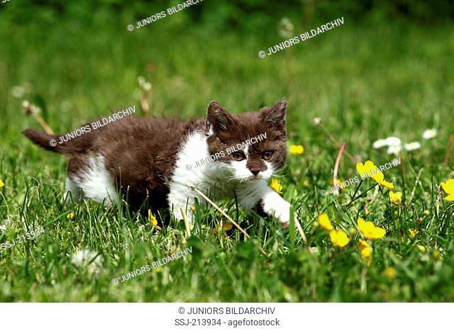 Selkirk Rex. Kitten walking on a flowering meadow. Germany