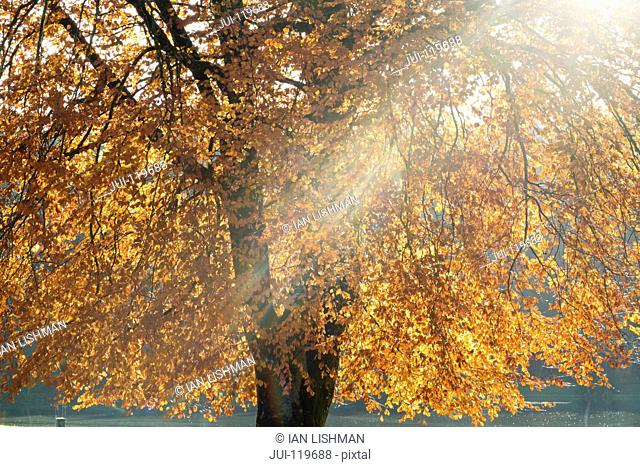 Sunlight Streaming Through Branches Of Tree Covered In Autumn Leaves