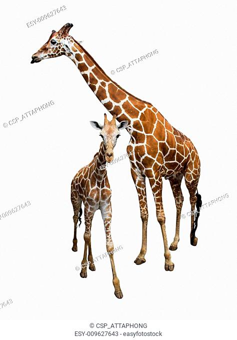 Giraffe isolate on white
