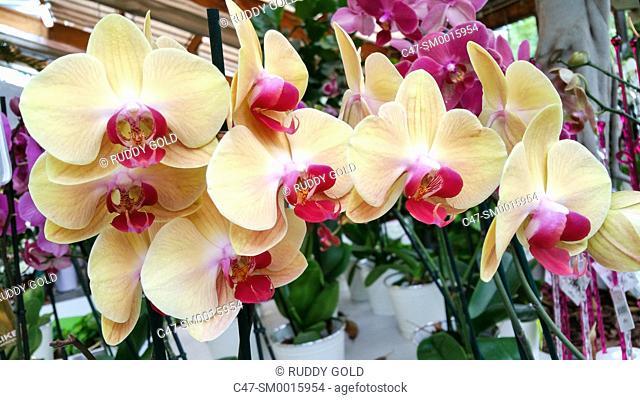 Orchid. Phalenopsis hybrida. Garden center, Mataro, Barcelona, Spain