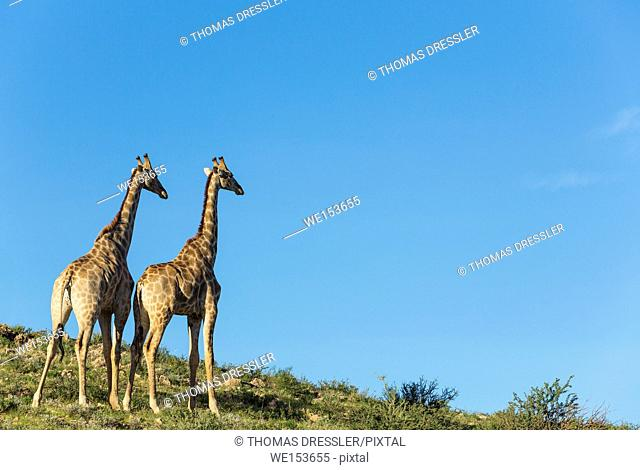 Southern Giraffe (Giraffa giraffa). Two males. Kalahari Desert, Kgalagadi Transfrontier Park, South Africa