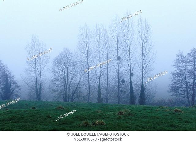 Trees (poplars. . . ) in the fog (North Mayenne, Loire country, France)