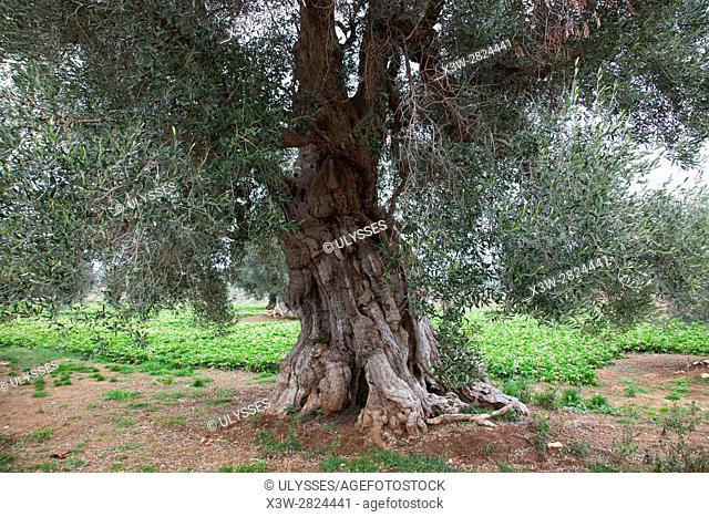 ancient olive trees, Contrada Coccaro, Savelletri di Fasano, Brindisi province, Puglia, Italy, Europe