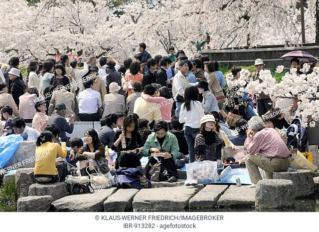 Crowded Maruyama Park during the Cherry Blossom Festival under blossoming cherry trees, Kyoto, Japan, Asia