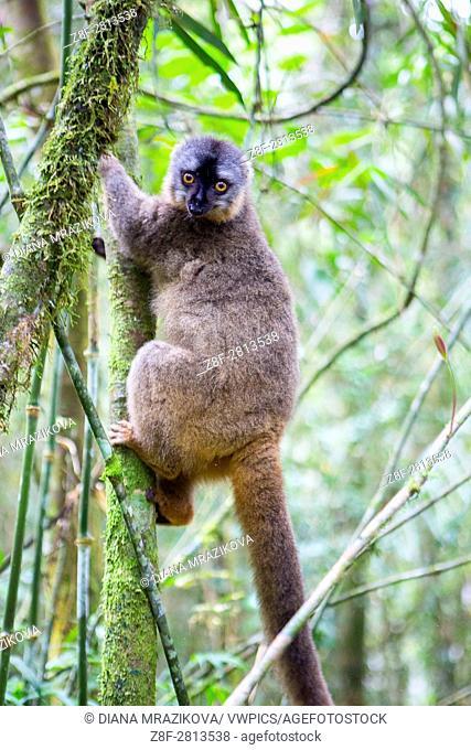 Lemur on the tree in Ranomafana national park in Madagascar