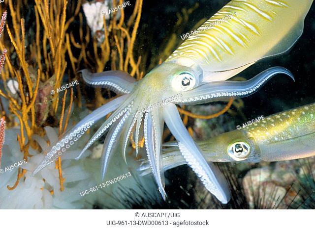 Bigfin reef squid,Andaman Sea, Myanmar