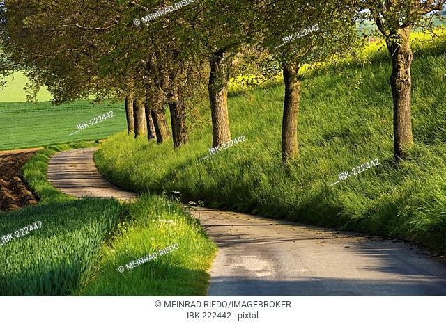 Counrty road with walnut trees, Swizerland