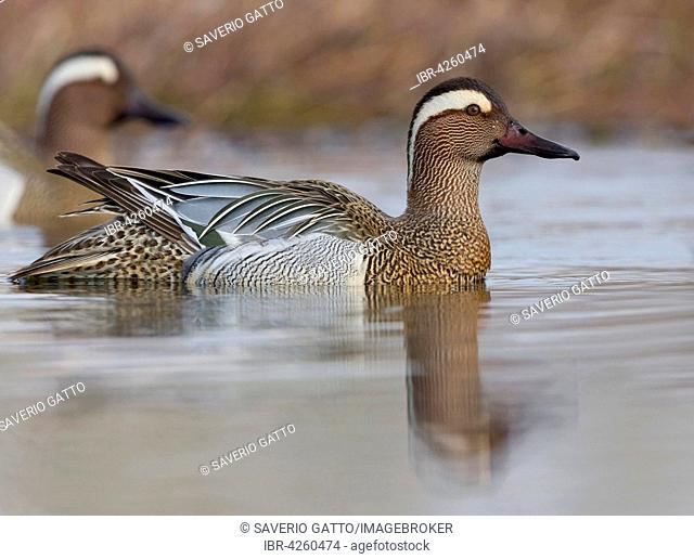 Garganey (Anas querquedula), adult male swimming in the water, Campania, Italy