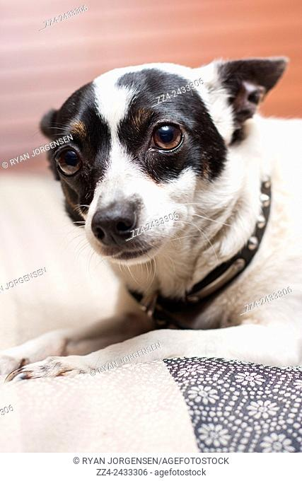 Close photo of a timid and sad mini fox terrier dog lying on a bed indoors looking at camera