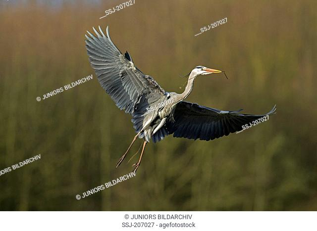 Grey Heron, Gray Heron (Ardea cinerea). Adult in flight, with nesting material in its bill. Germany