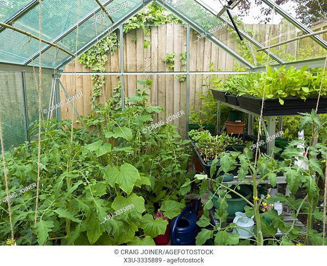 Tomato and cucumber plants growing in an amateur gardener's greenhouse in early summer