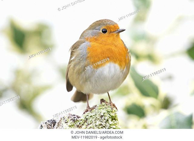 BIRD. Robin in frosty setting