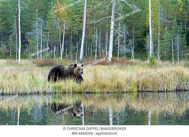 Brown bear (Ursus arctos) at lake, Kainuu, North Karelia, Finland