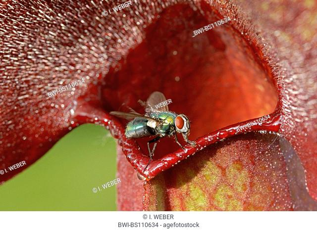 northern pitcher plant (Sarracenia purpurea), funnel leaf, entrance of the trap with fly