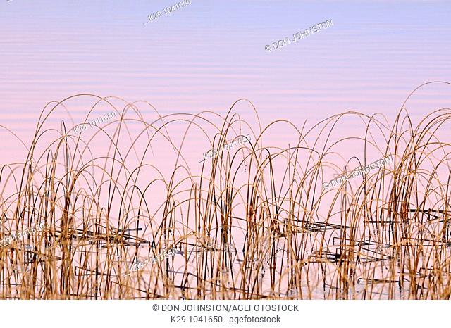 Bulrush colony in Clear Lake