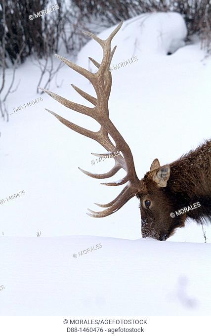 United States, Wyoming-Montana, Yellowstone National Park, Lamar Valley, Elk or Wapiti (Cervus canadensis)