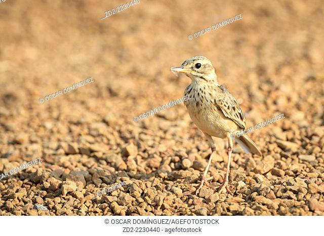 Paddyfield Pipit (Anthus rufulus) with insect prey in its bill. Ratchaburi province. Thailand
