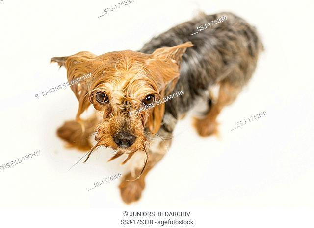 Wet Yorkshire Terrier standing in a bathtub