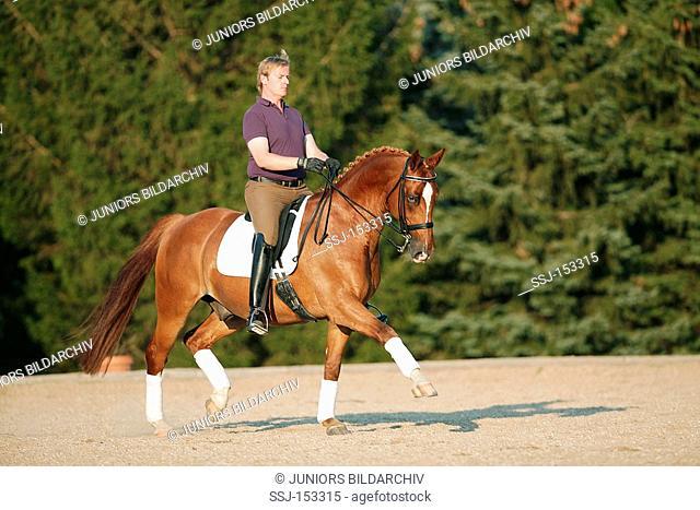 rider on Austrian warmblood horse - trotting