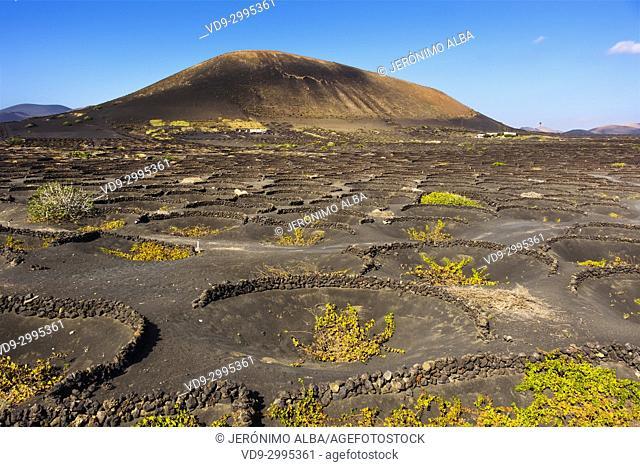 Vineyards growing on volcanic ashes. La Geria region. Lanzarote Island. Canary Islands Spain. Europe