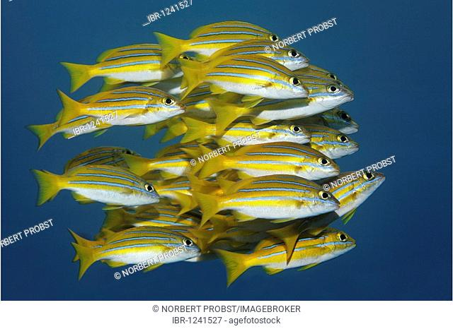 Shoal of Bluestripe snappers, (Lutjanus kasmira), swimming, Tulamben, Bali, Indonesia, Indian Ocean