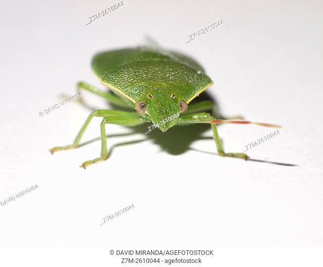 Green shield bug ( Palomena prasina ). Fam. Pentatomidae. Macro