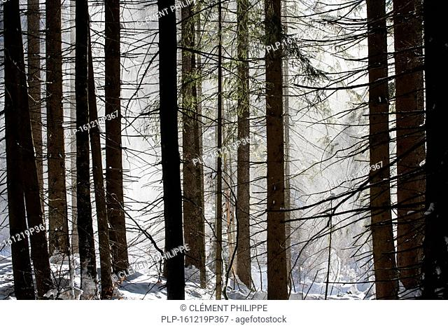 Snow falling from branches of pine trees in coniferous forest blown away by gust of wind in winter