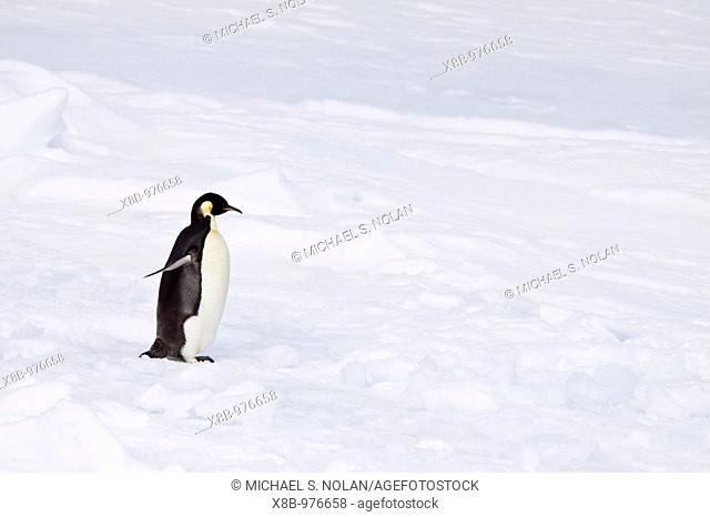 A lone adult Emperor Penguin Aptenodytes forsteri on an ice floe just north of Snow Hill Island in the Weddell Sea, Antarctica  The Emperor is the tallest and...