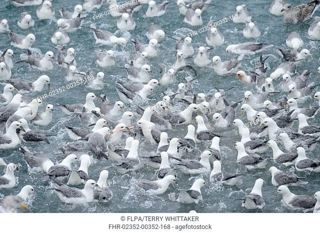 Northern Fulmar (Fulmarus glacialis) flock, feeding at fish processing plant outfall, Grundarfjordur, Snaefellsnes, Vesturland, Iceland, March