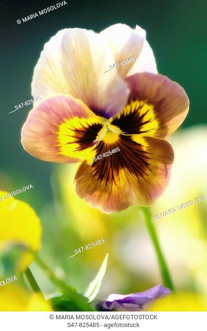 Brown Pansy Flower. Viola x wittrockiana