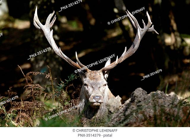 France, Burgundy, Yonne. Area of Saint Fargeau and Boutissaint. Slab season. Stag in a wood. Close-up on its wood