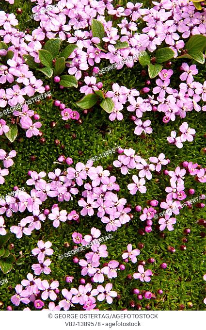Moss campion, Jasper National Park, AB