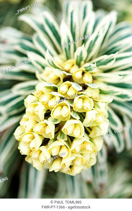 Spurge, Mediterranean spurge, Euphorbia characias 'Tasmanian Tiger', Front view of one yellow flowerhead emerging from variegated leaves