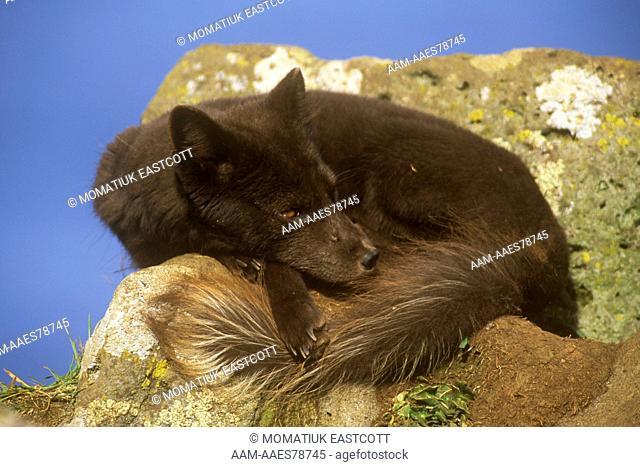 Arctic Fox (Alopex lagopus) Blue phase, resting, coastal cliffs, Pribilofs, AK, St. Paul Island