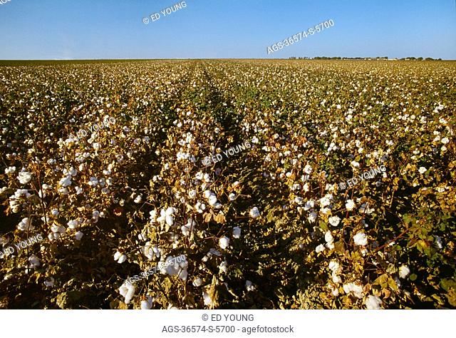 Agriculture - Field of post defoliation cotton with open bolls, nearly ready for harvest / San Joaquin Valley, Californai, USA