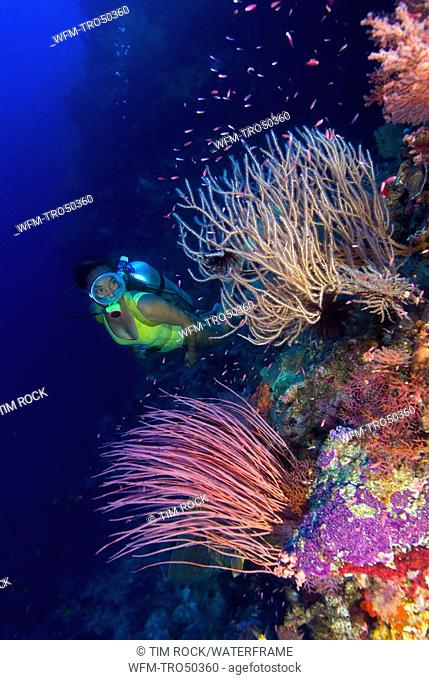 Scuba Diver and Whip Corals, Ellisella sp., Pura Island, Alor Archipel, Lesser Sunda Islands, Indonesia