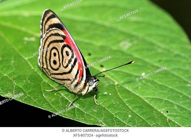 Butterfly on leaf, Napo River basin, Amazonia, Ecuador