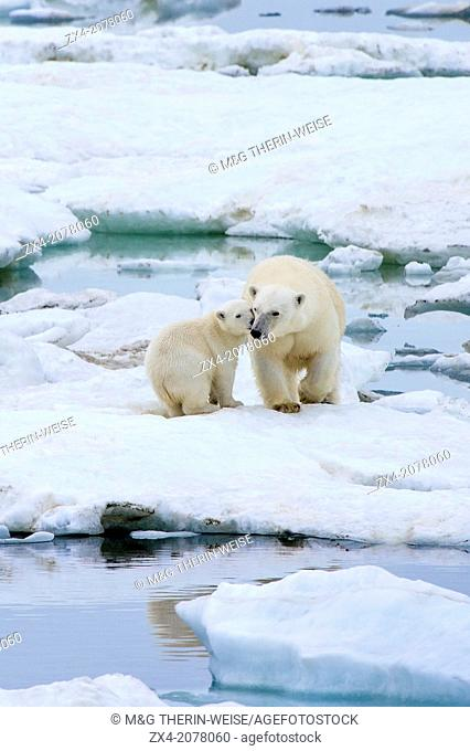 Mother polar bear with one cub (Ursus Maritimus), Wrangel Island, Chuckchi Sea, Chukotka, Russian Far East, Unesco World Heritage Site