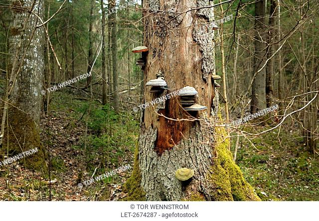Shelf fungi growing on a tree trunk at Gauja National Park in Latvia