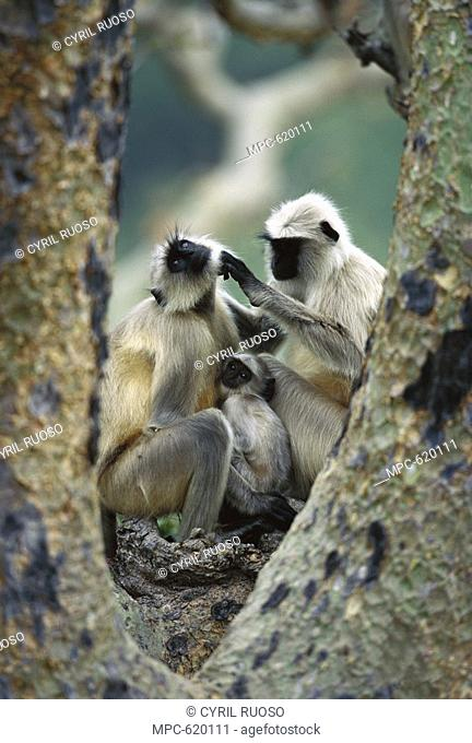 Hanuman or Grey or Common Langur Semnopithecus entellus, two adults with infant grooming, Ranakpur Forest, Rajasthan, India