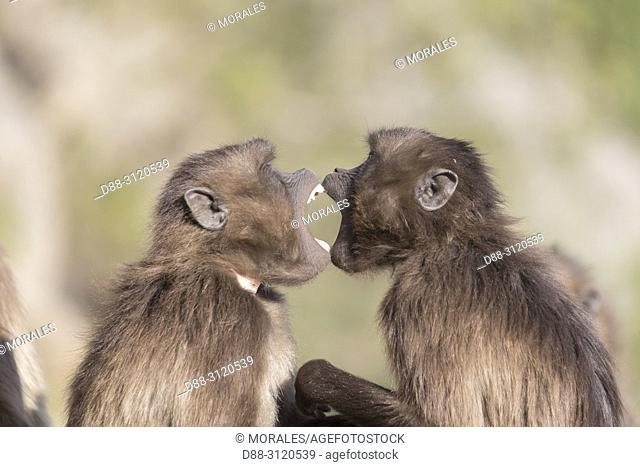Africa, Ethiopia, Rift Valley, Debre Libanos, Gelada or Gelada baboon (Theropithecus gelada), two young males fight over each other
