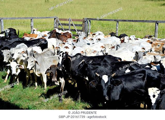 Nelore and mixed breed cattle in a pen for vaccination, São João Batista do Glória, Minas Gerais, Brazil, 06.2015