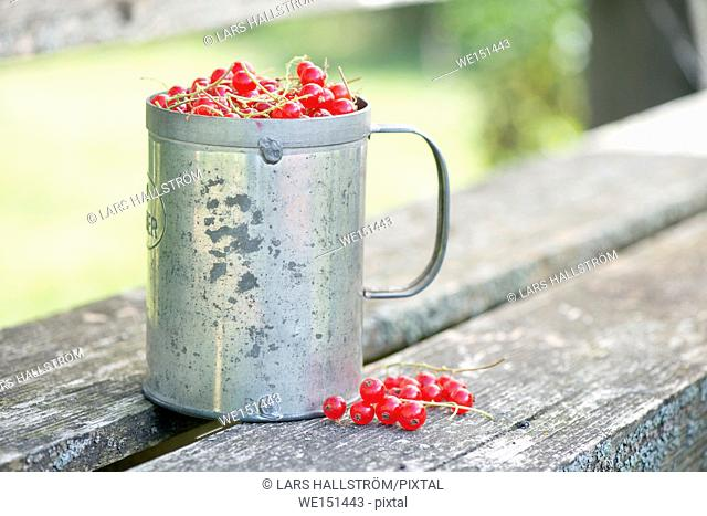 Freshly picked red currant berries in bucket on garden table. Summer lifestyle scene with no people