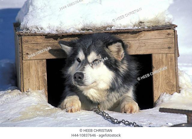 Canada, North America, America, Canadian Eskimo Dog, Wells Gray Provincal Park, British Columbia, Sled dog, dogsleddin