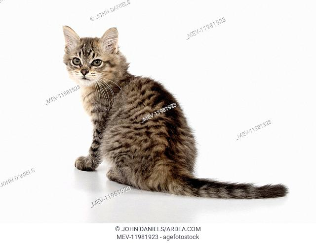 CAT. Tiffanie, Black Macerel Tabby